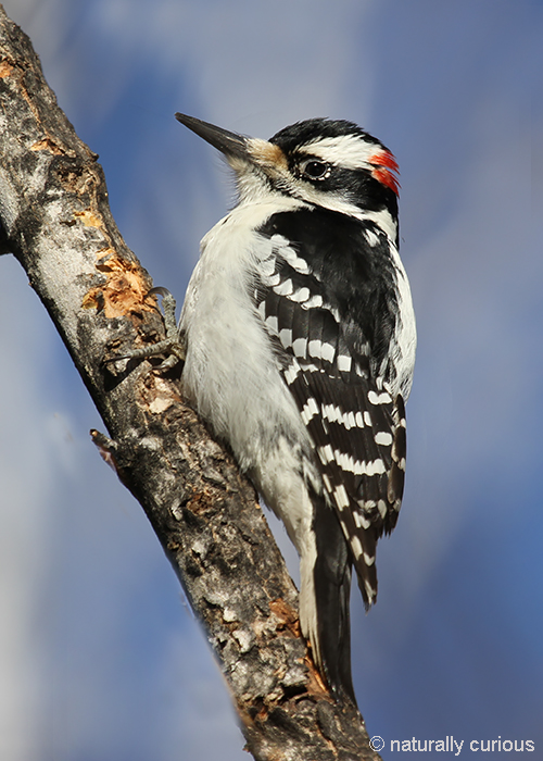 2-16-18 hairy woodpecker IMG_0039