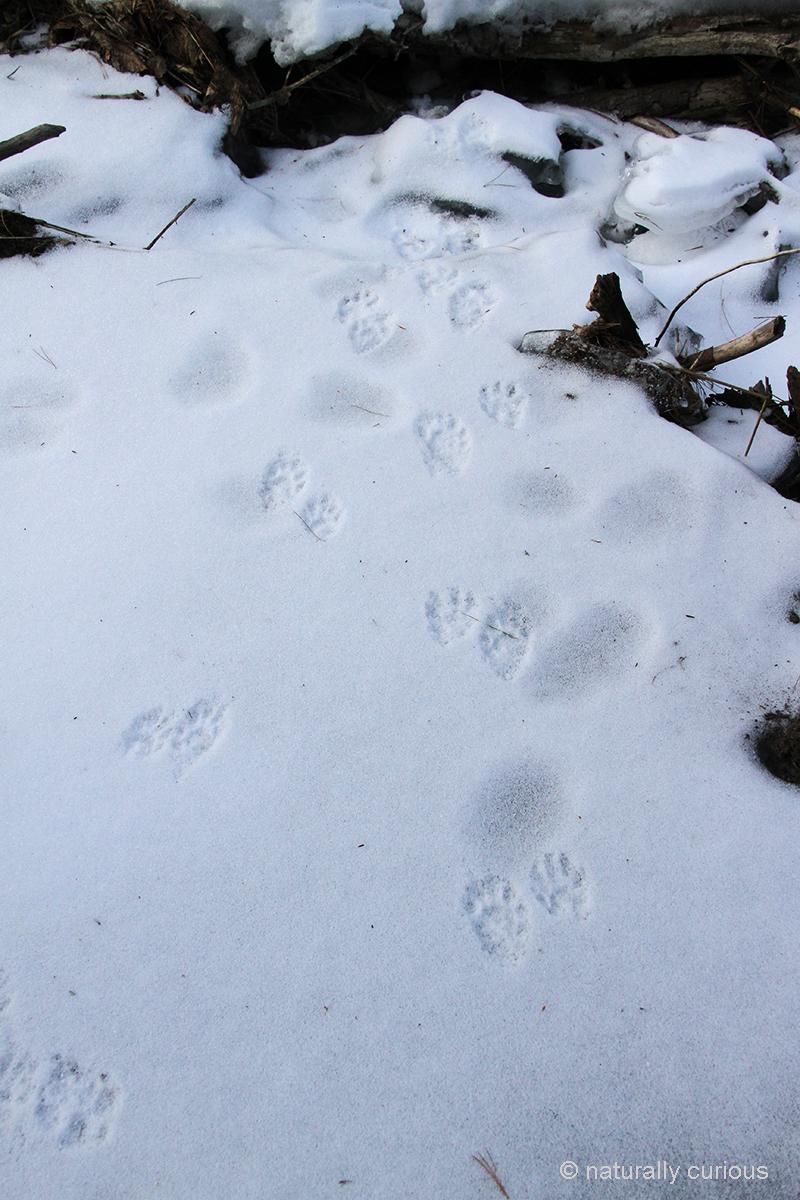 2-16-18  raccoon tracks IMG_2312.jpg