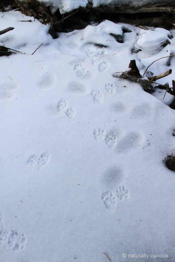 2-16-18  raccoon tracks IMG_2312.jpg
