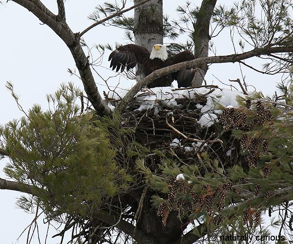 3-19-18 bald eagle2 049A4432