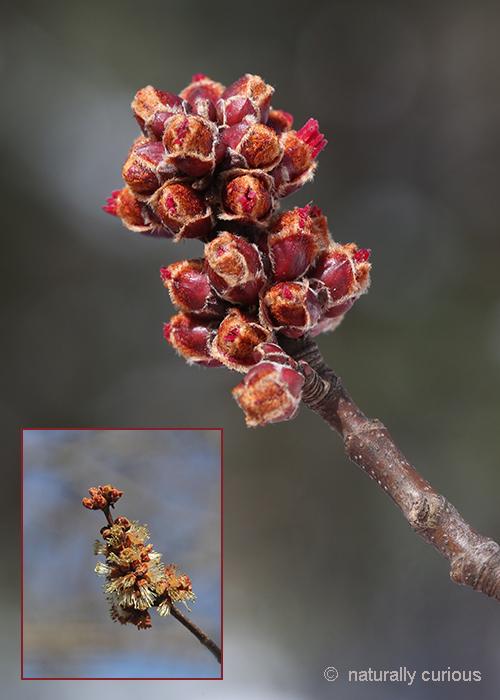 3-19-18 silver maple male flowers 049A4484