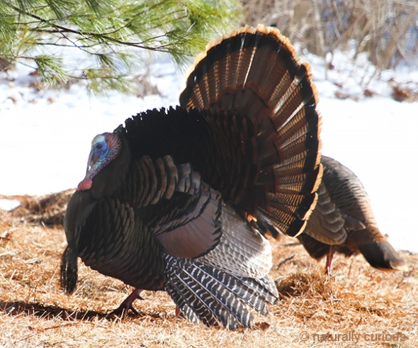 3-19-18 wild turkey IMG_7081