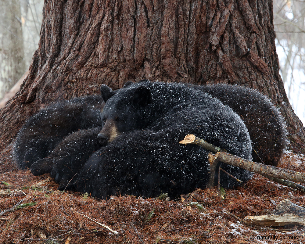 3-26-18 black bears sleeping 1545