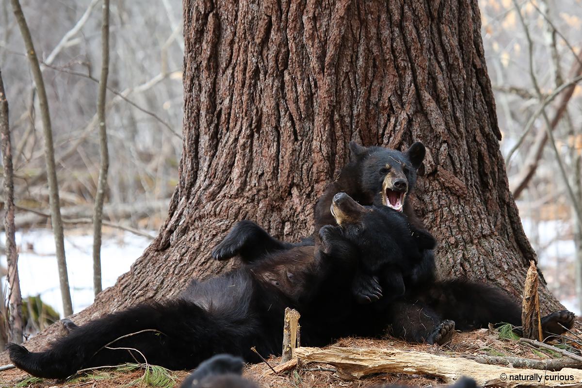 3-28-17 black bears playing 1368
