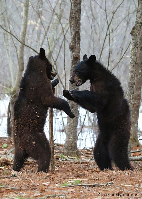 3-30-18 yearling black bears mock fighting 1276