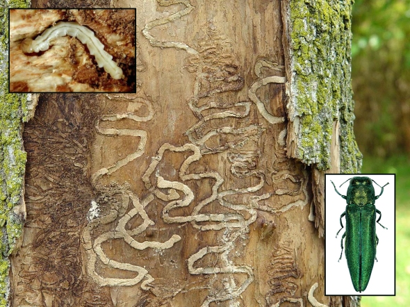 3-5-18 emerald ash borer tunnels commonpence.co2 EABTunnels