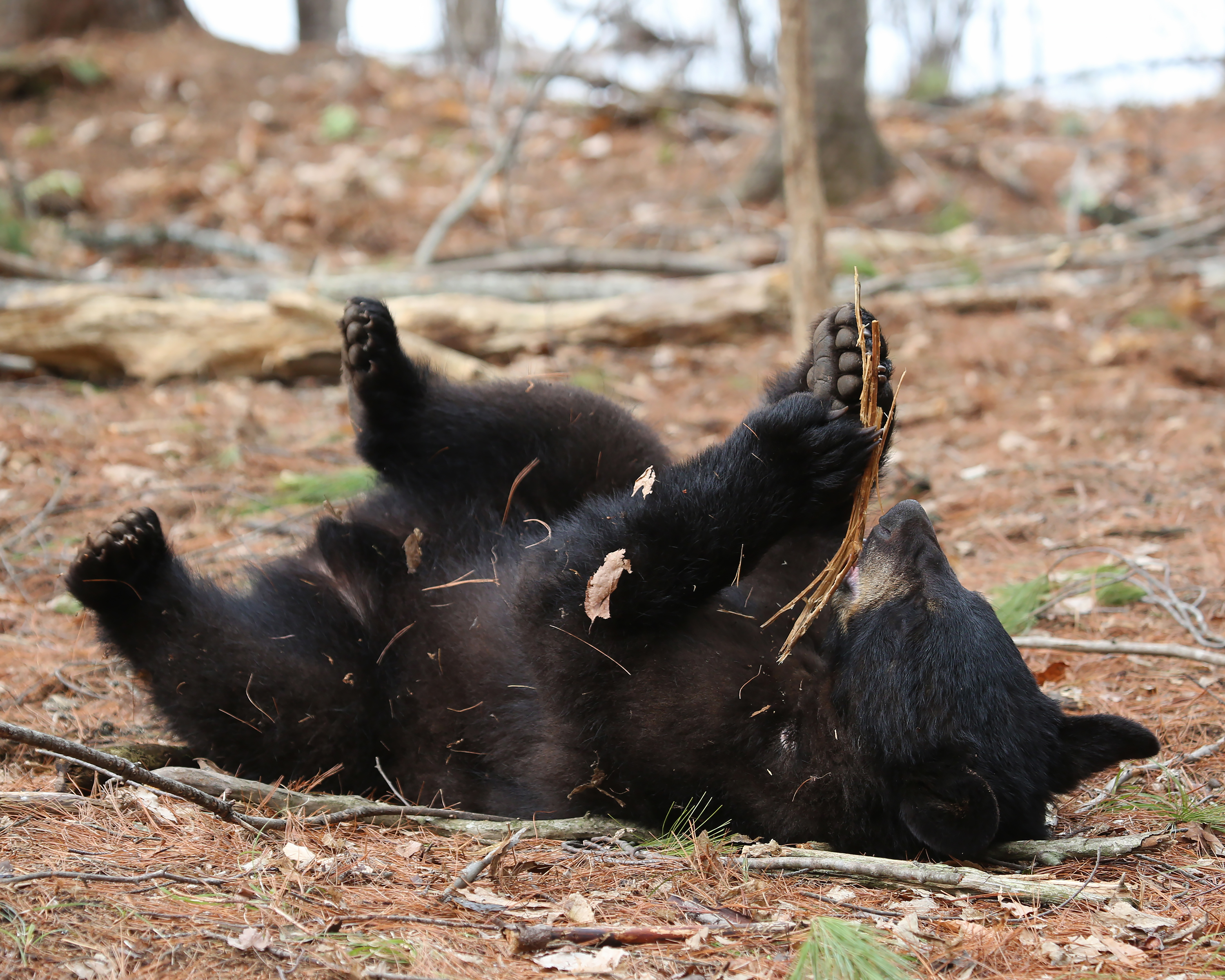 4-6-18 black bear yearling on back 1058