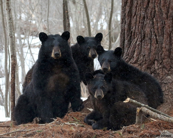 4-6-18 four black bears 636-Recovered
