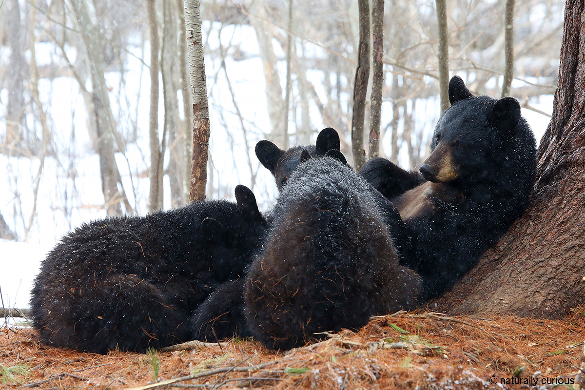 4-6-18 mother black bear with three yearlings nursing in light snow by MHolland 1077