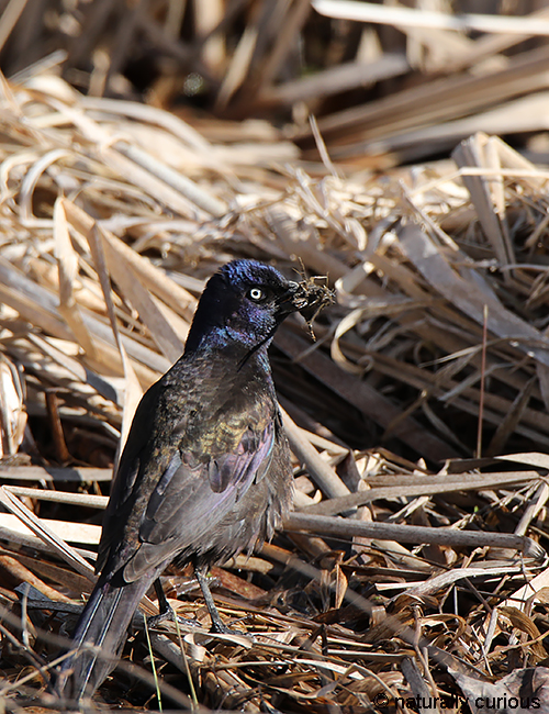 4-23-18 common grackle 0U1A0687