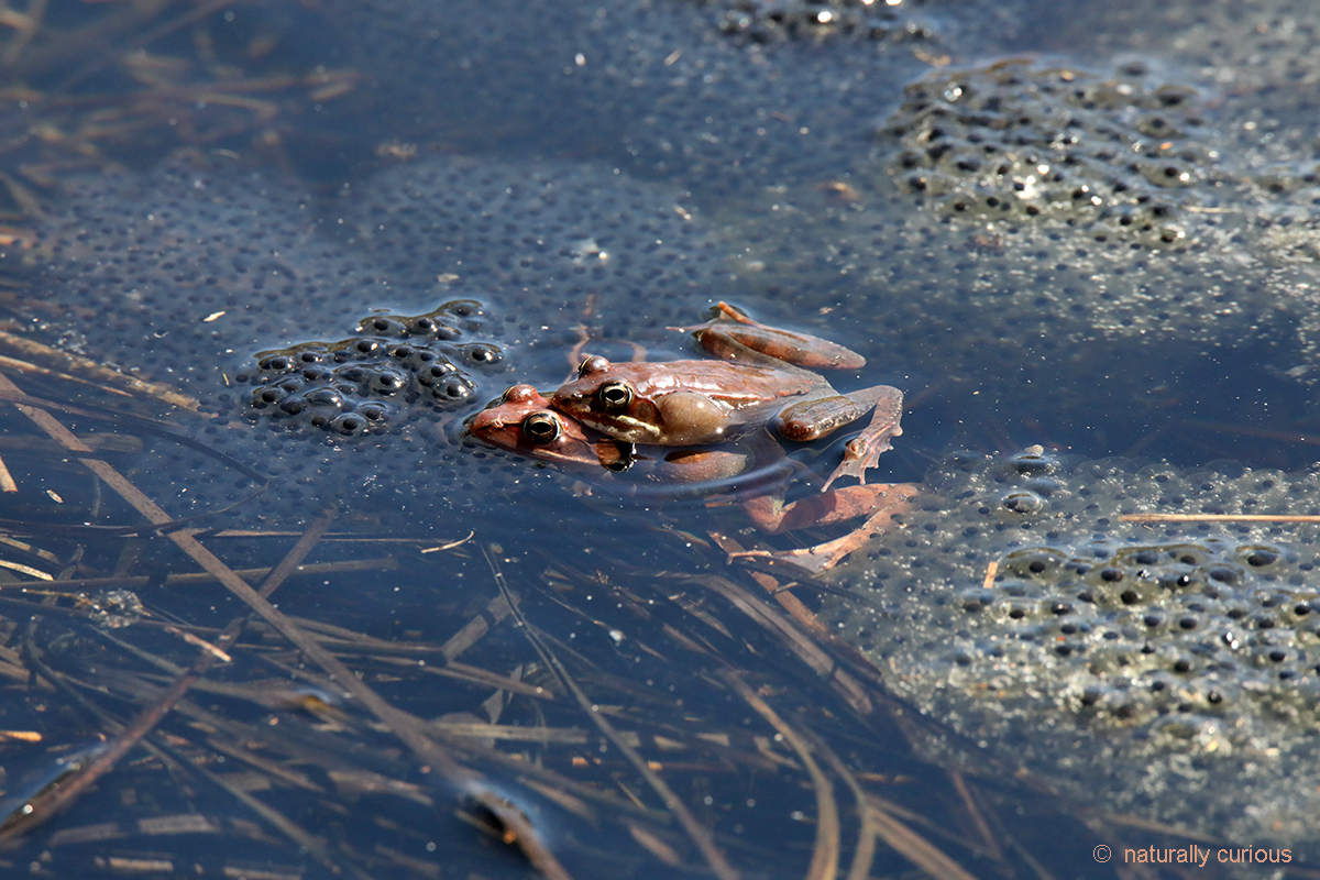 4-23-18 mating wood frogs2 0U1A0777