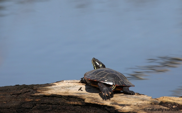 4-27-18 painted turtle2 0U1A1070