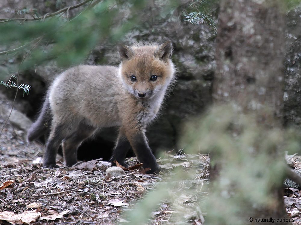 4-27-18 red fox kit3 IMG_7484