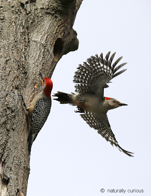 5-11-18 red-bellied woodpeckers3 _U1A2313