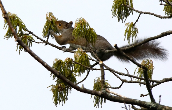 5-14-18 gray squirrel eating oak flowers2 _U1A2327