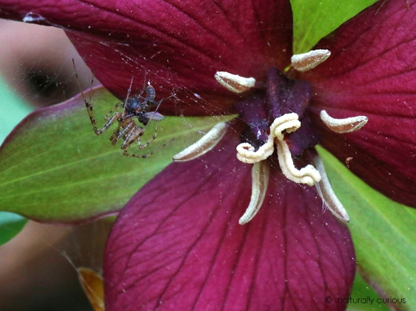 5-16-18 fly, spider and red trillium_U1A2889
