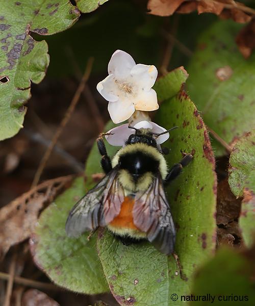 5-2-18 bumblebee2 096
