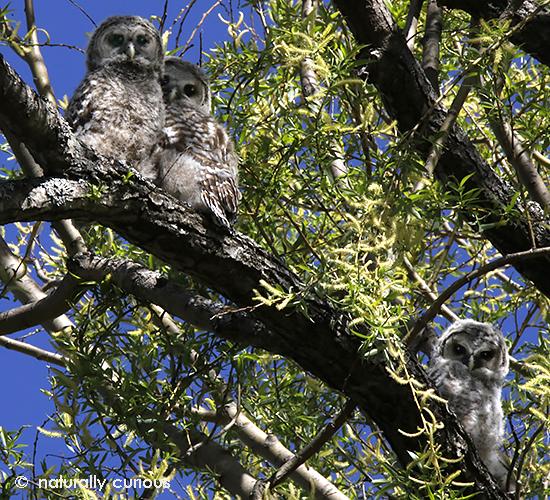 5-21-18 barred owl fledglings3 _U1A3239