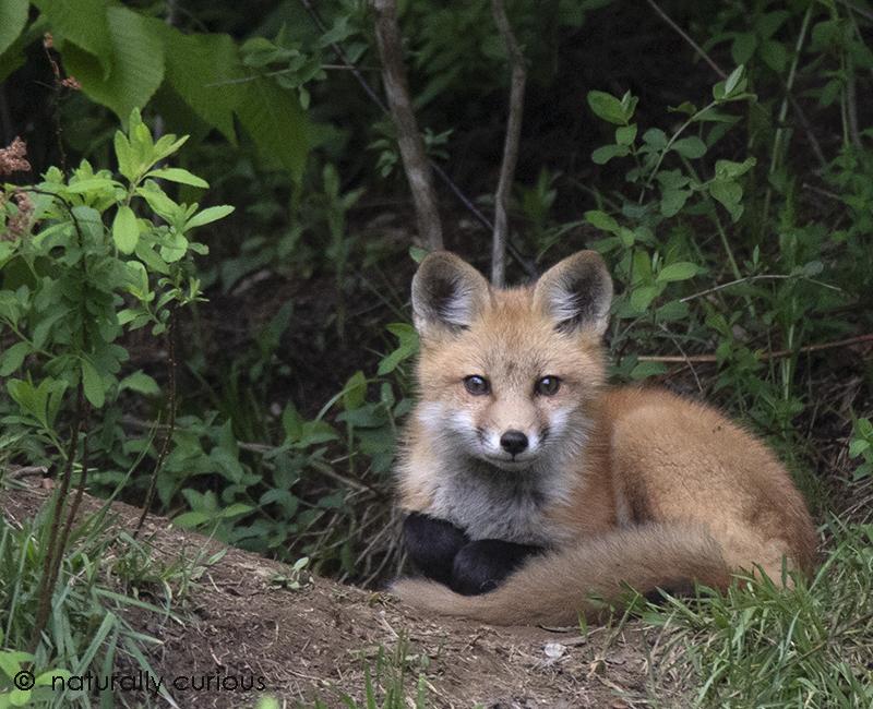 5-25-18 red fox kit_U1A4366