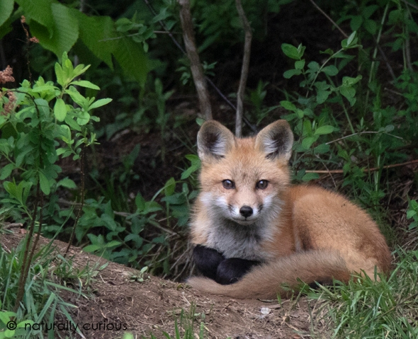 5-25-18 red fox kit_U1A4366