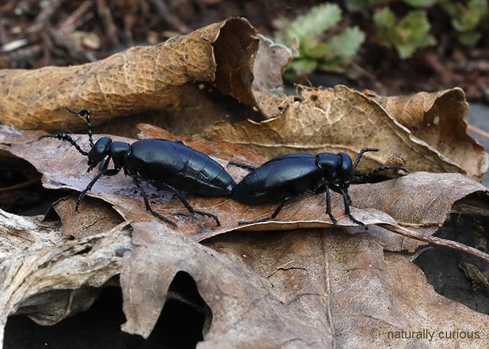 5-9-18 blister beetles mating_U1A1519
