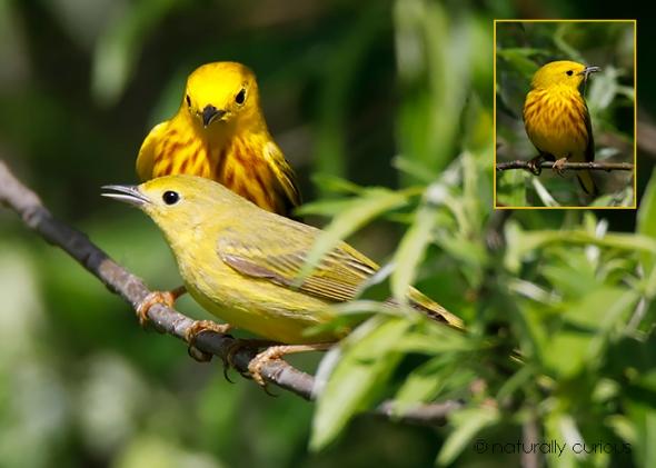 6-4-18 yellow warblers6_U1A5144