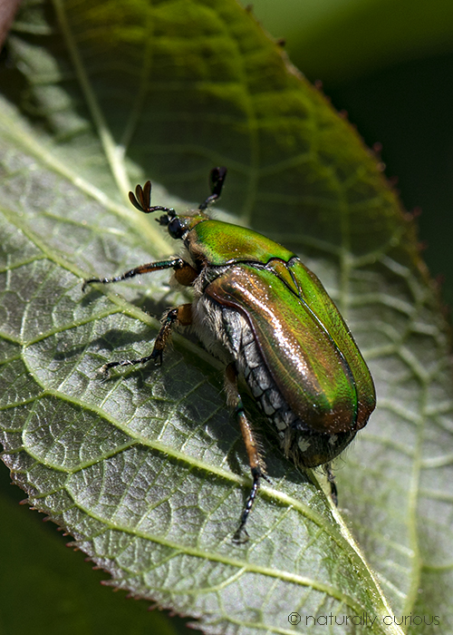 6-20-18 emerald euphoria beetle_U1A8526