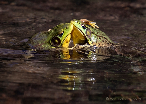 6-25-18 green frogs2 _U1A9296