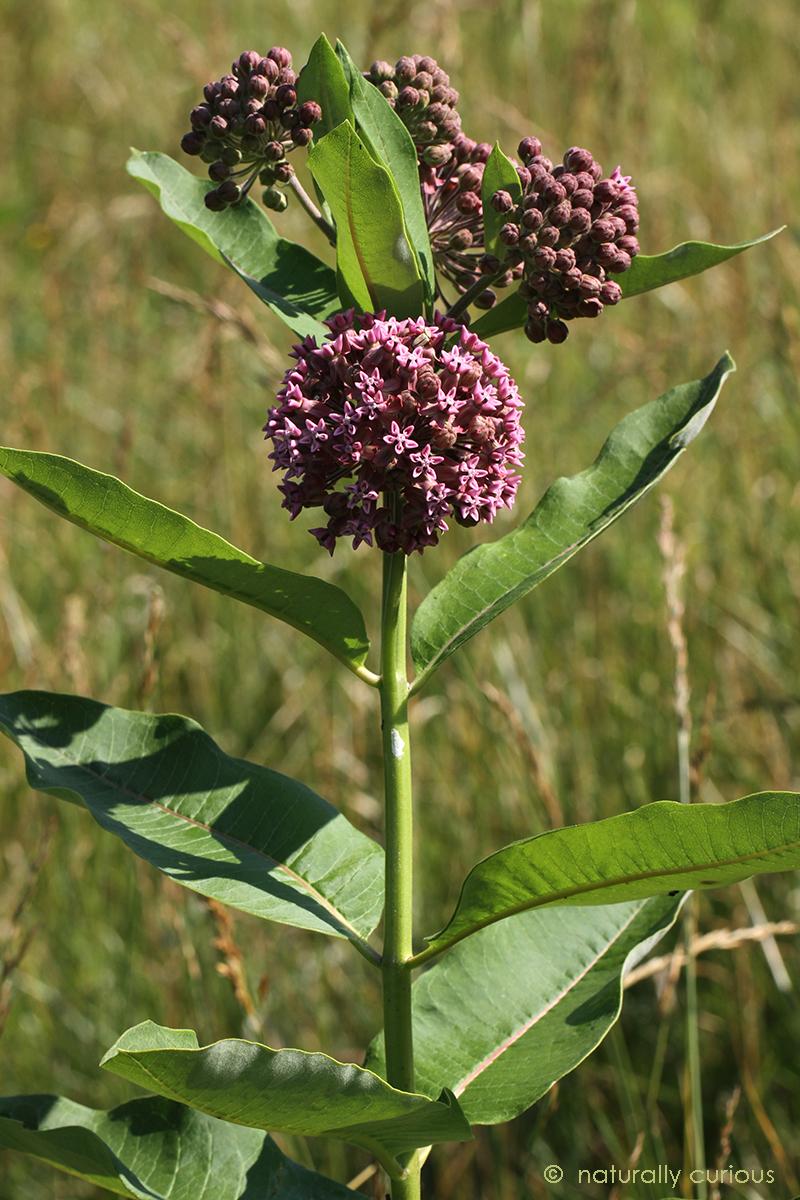 6-27-18 common milkweed IMG_7097