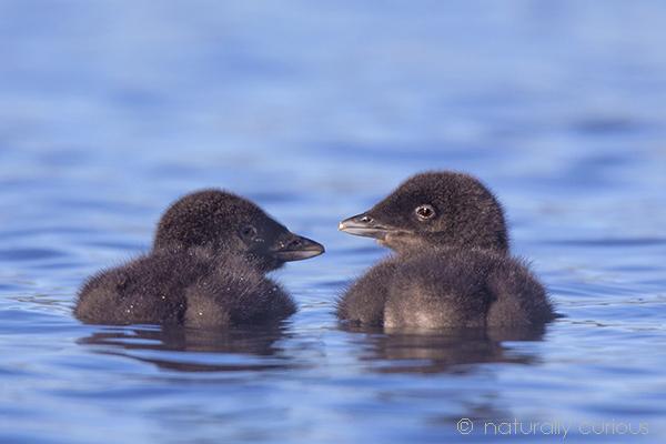 6-27-18 loon chicks3_U1A9901