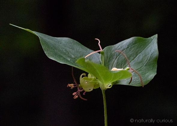 6-29-18 wild cucumberroot_U1A9795