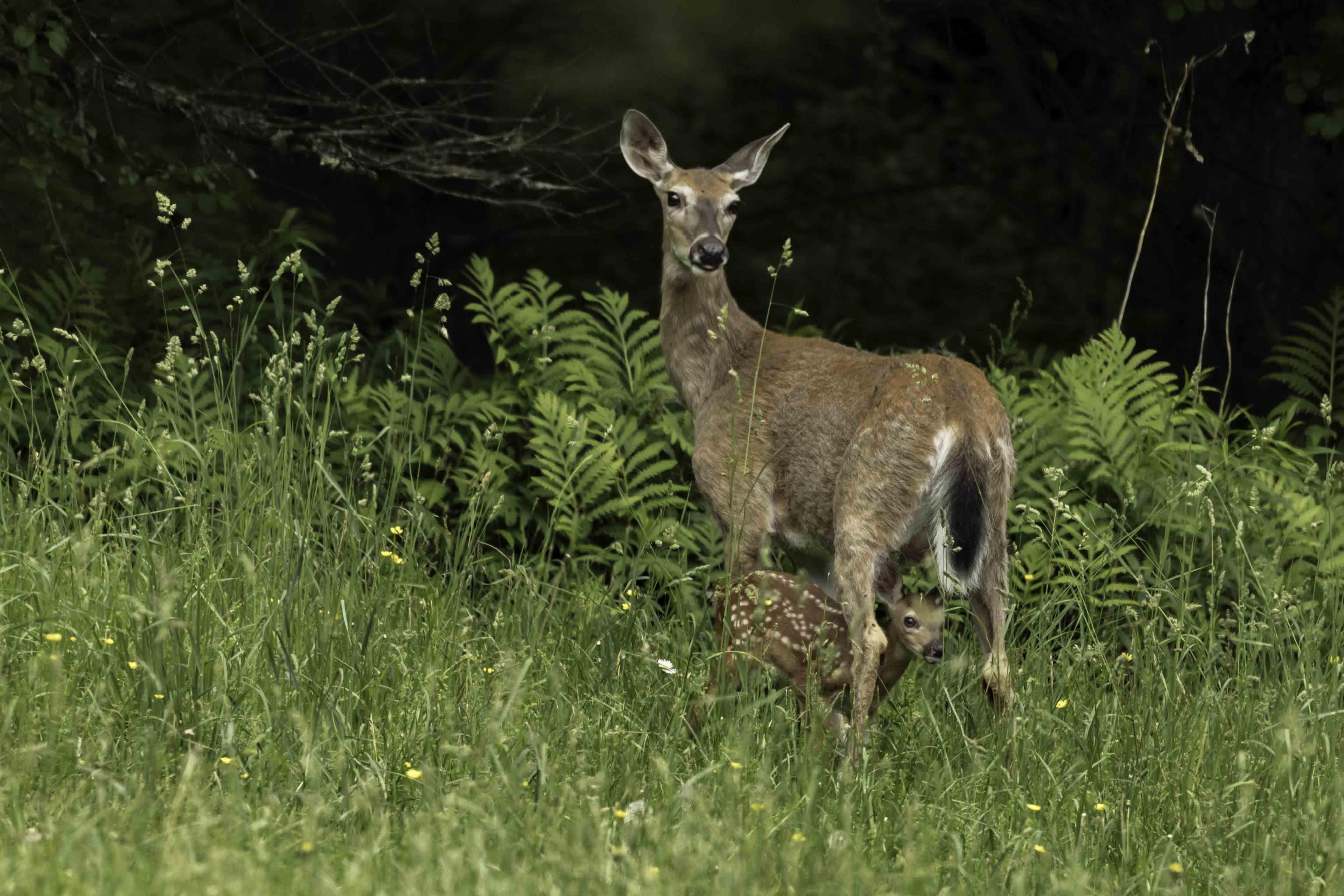 deer and fawn alert _H6A8525 copy (002)