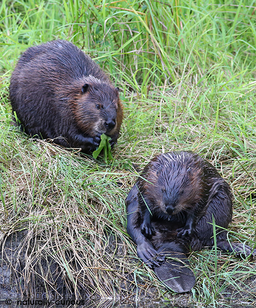 7-11-18 beavers 049A5253