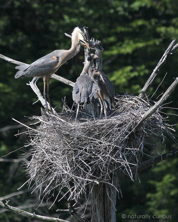 7-18-18 gbh chicks & parent IMG_5874