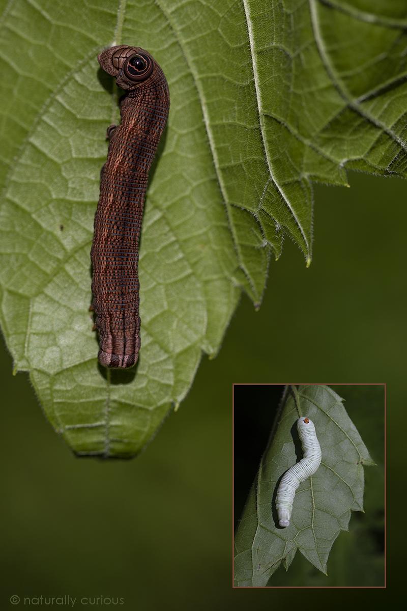7-23-18 Abbott's sphinx moth_U1A2632