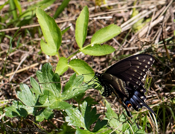 7-23-18 black swallowtail female laying eggs_U1A2171