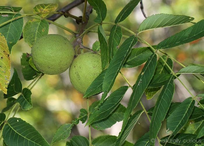 7-6-18 black walnuts IMG_8342