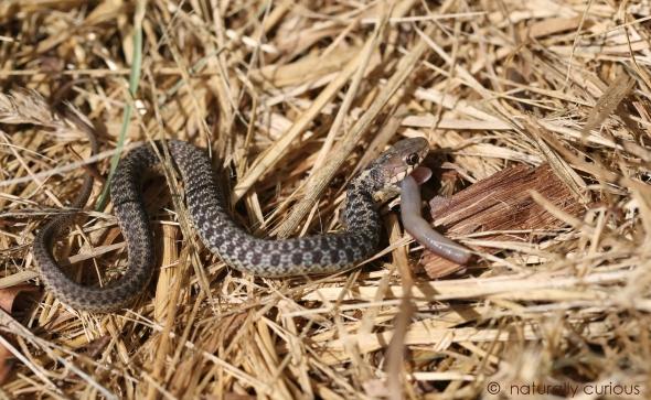8-3-18 garter snake 081