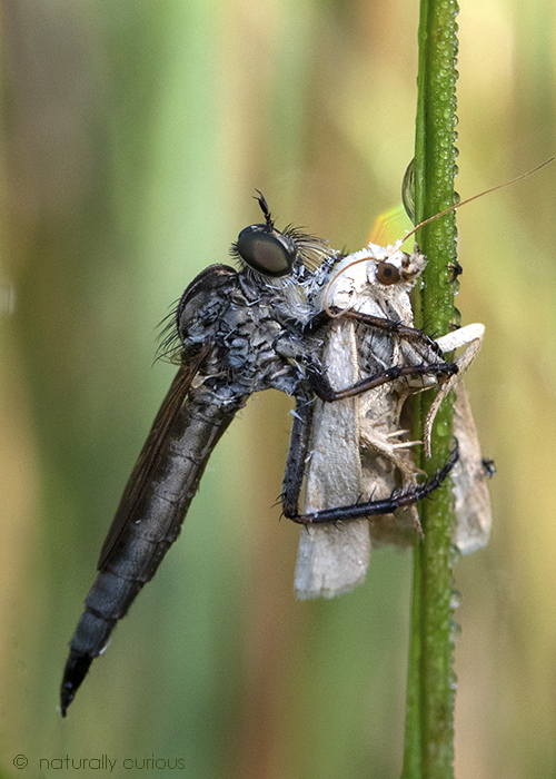 8-3-18 robber fly with butterfly2_U1A3399