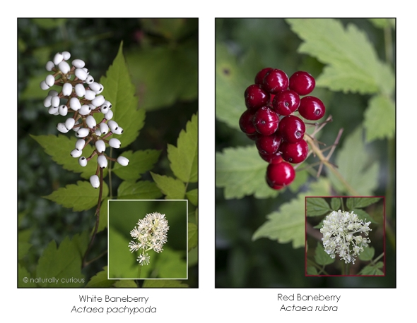 8-16-18 red and white baneberry-1