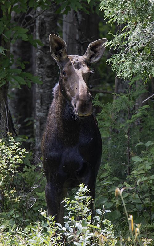 9-3-18 cow moose_U1A7488