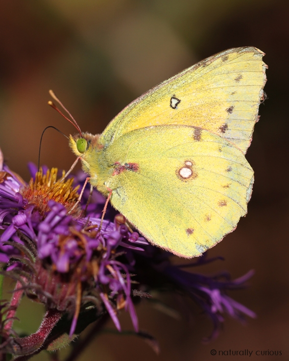 9-24-18 sulphur butterfly IMG_9736