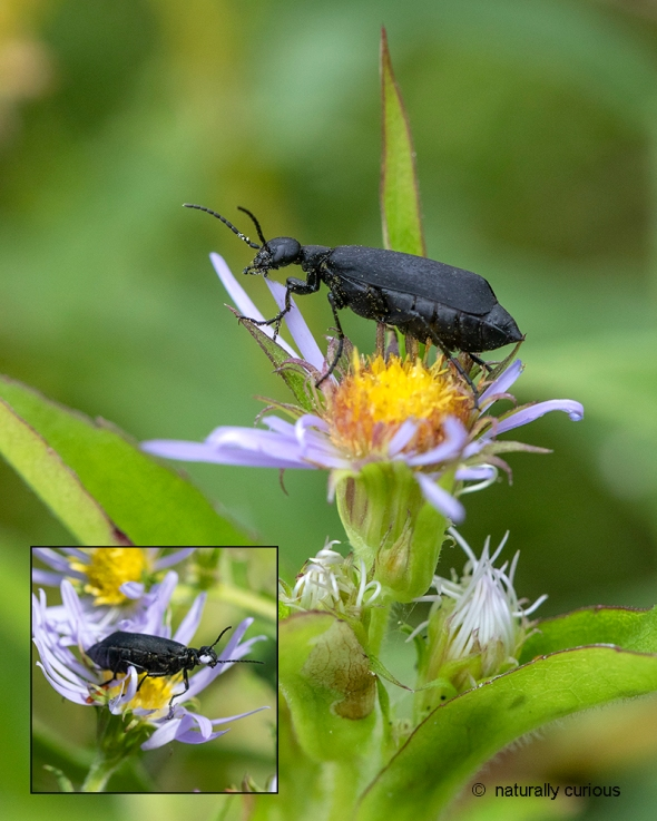 Black Blister Beetle | Naturally Curious with Mary Holland