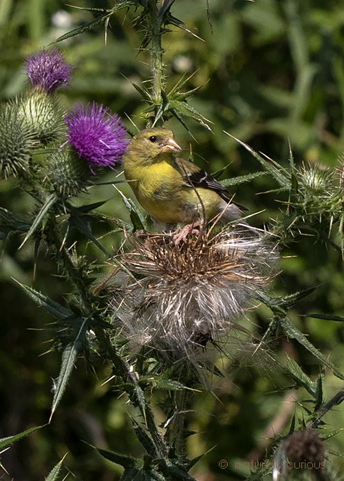 A. goldfinch and thistle seed_U1A8258