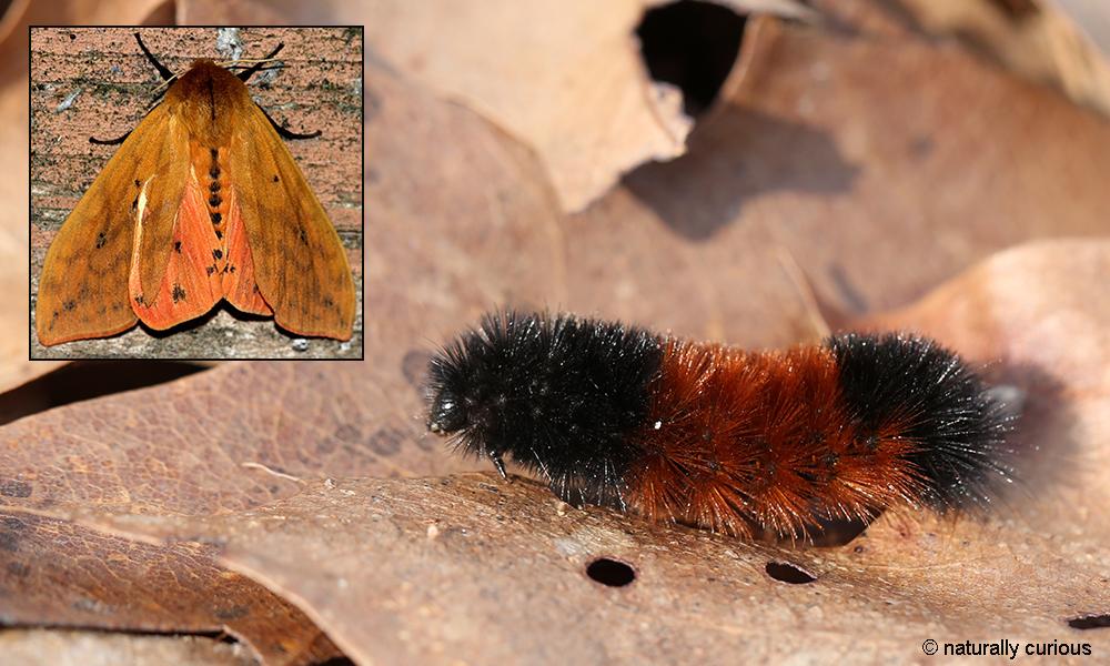 10-10-18 isabella tiger moth 119