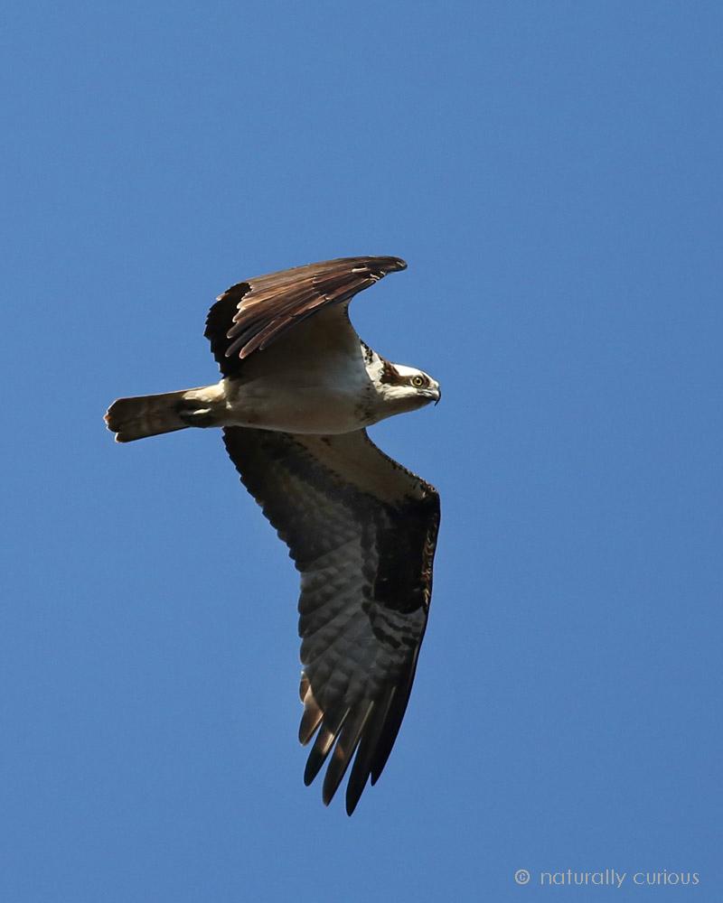 10-15-18 osprey 014