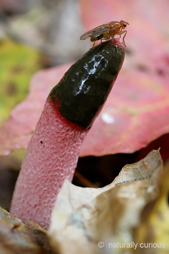 10-5-18 dog stinkhorn IMG_9973