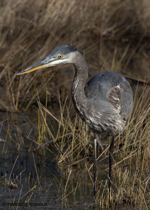 11-12-14 great blue heron2_U1A1373