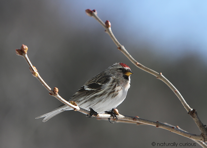 11-23-18 common redpoll IMG_3634