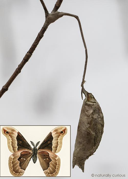 11-28-18 promethea moth cocoon_U1A2802